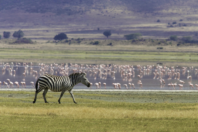 Zebra in Tanznia